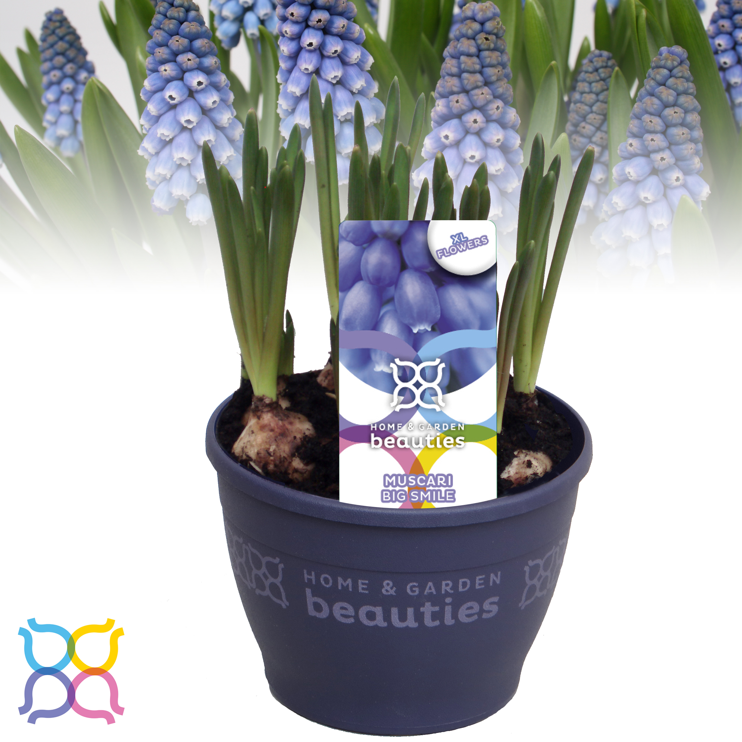 12cm muscari big smile